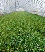Garlic greenhouse planting