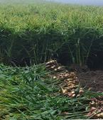 Ginger planting base