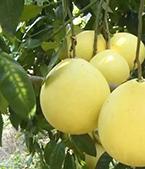 Grapefruit planting base
